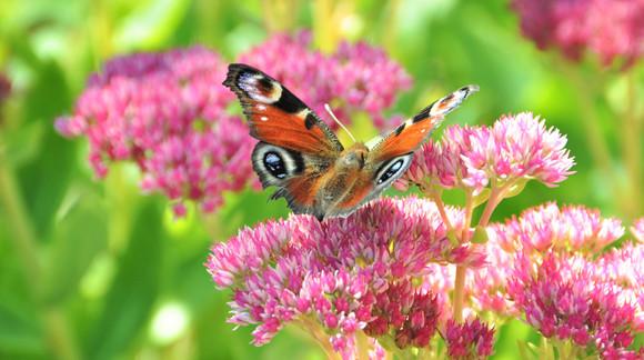 Schmetterling aug Blüte