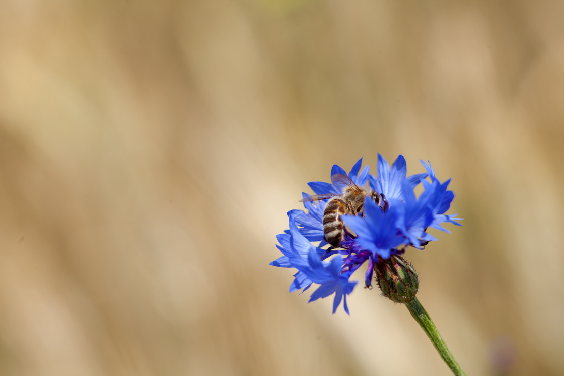 Biene auf blauer Blüte