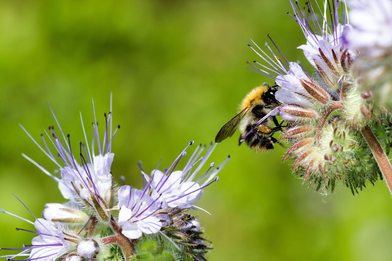 Helfen Sie den (Wild-)Bienen!