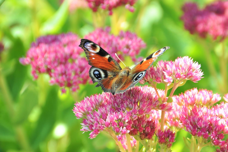 Ja, ich unterstütze den Schutz der Schmetterlinge: