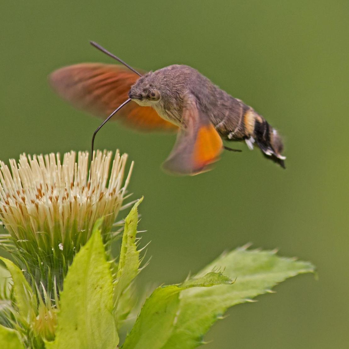 Bedrohte Schmetterlingsart: Taubenschwänzchen