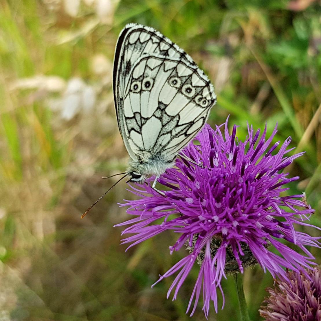 Bedrohte Schmetterlingsart: Schachbrettfalter