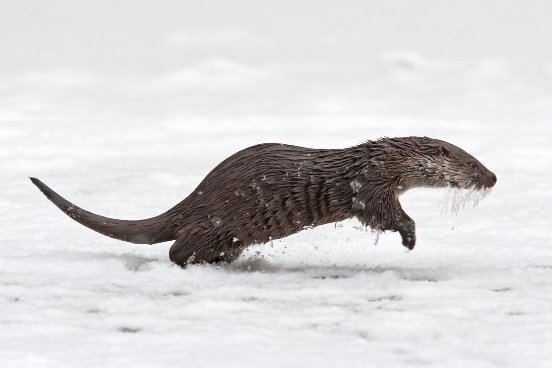 Eurasischer Fischotter springt im Schnee