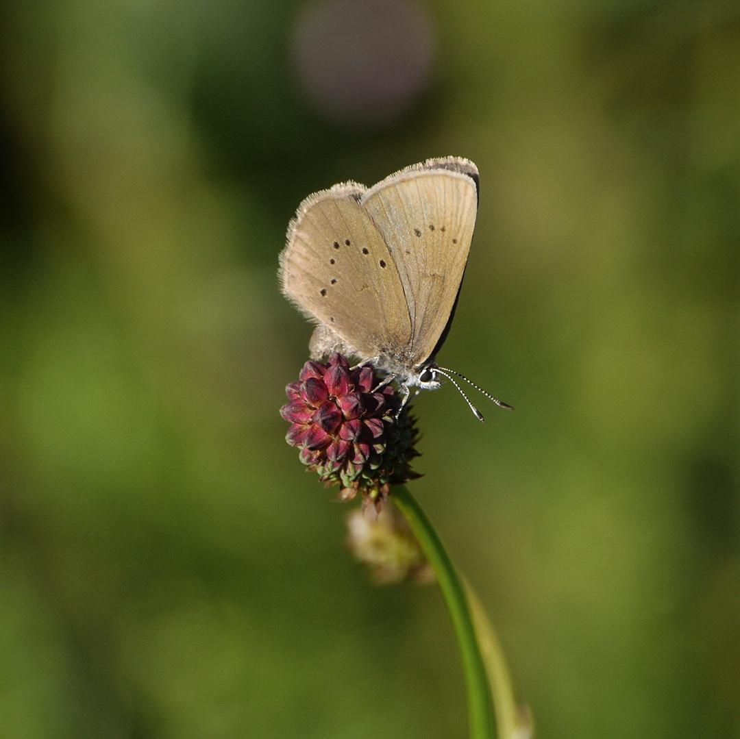 Bedrohte Schmetterlingsart: Lungenenzian-Ameisenbläuling