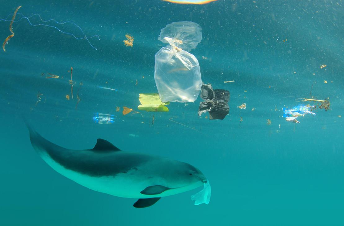 Schweinswal im Meer mit Plastikmüll