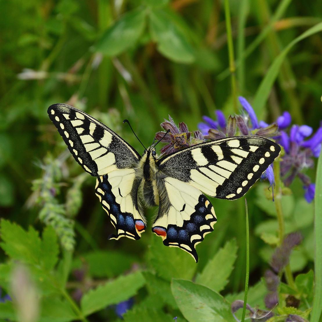Bedrohte Schmetterlingsart: Schwalbenschwanz