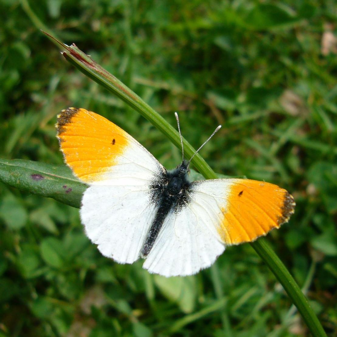 Bedrohte Schmetterlingsart: Aurorafalter