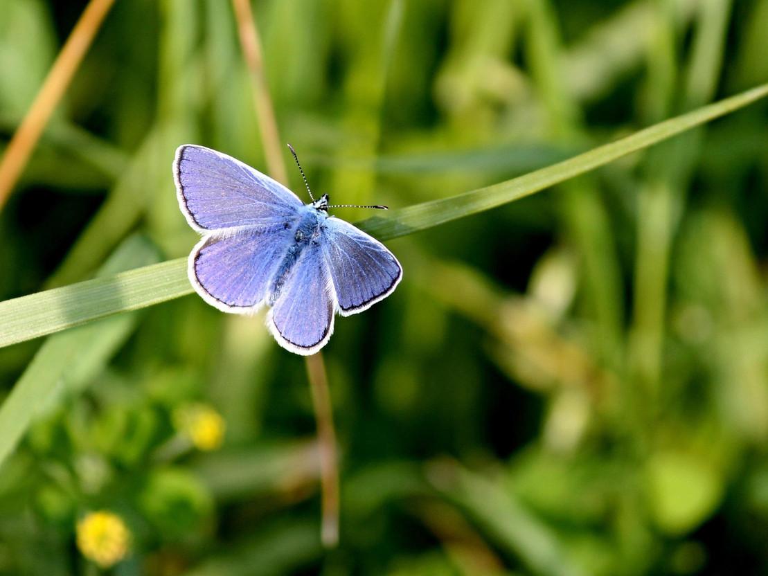 Bedrohte Schmetterlingsart: Hauhechel-Bläuling
